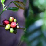 Coffee Business Meeting: Gali Peluang Pasar FINE ROBUSTA Lampung