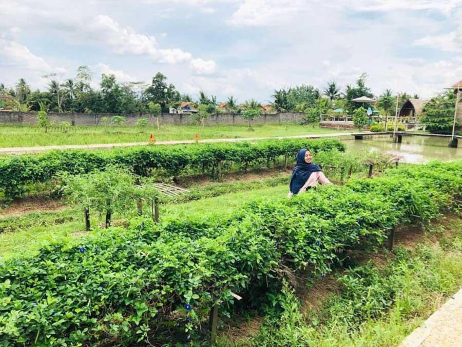 Foto Gambar Kebun Buah Naga di Kampung BW Pringsewu - ayusntia12